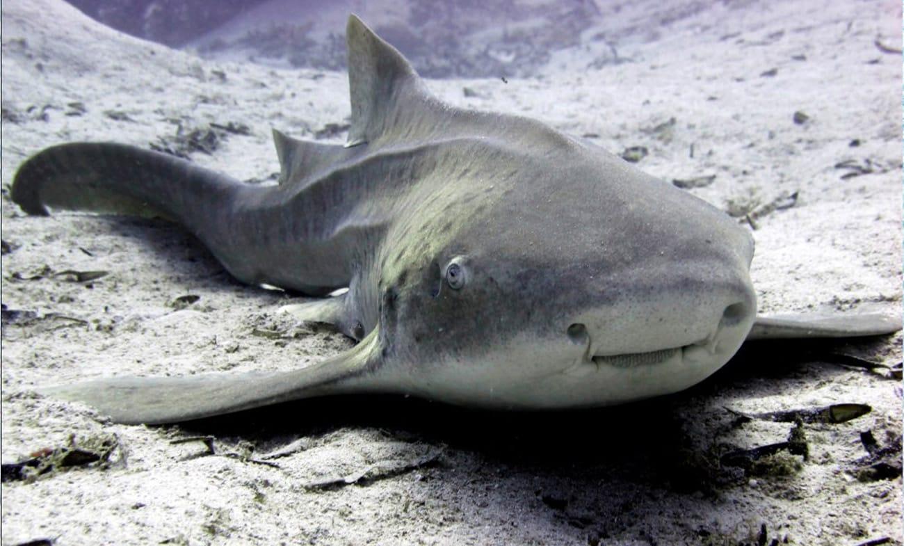 Shark in Dahab