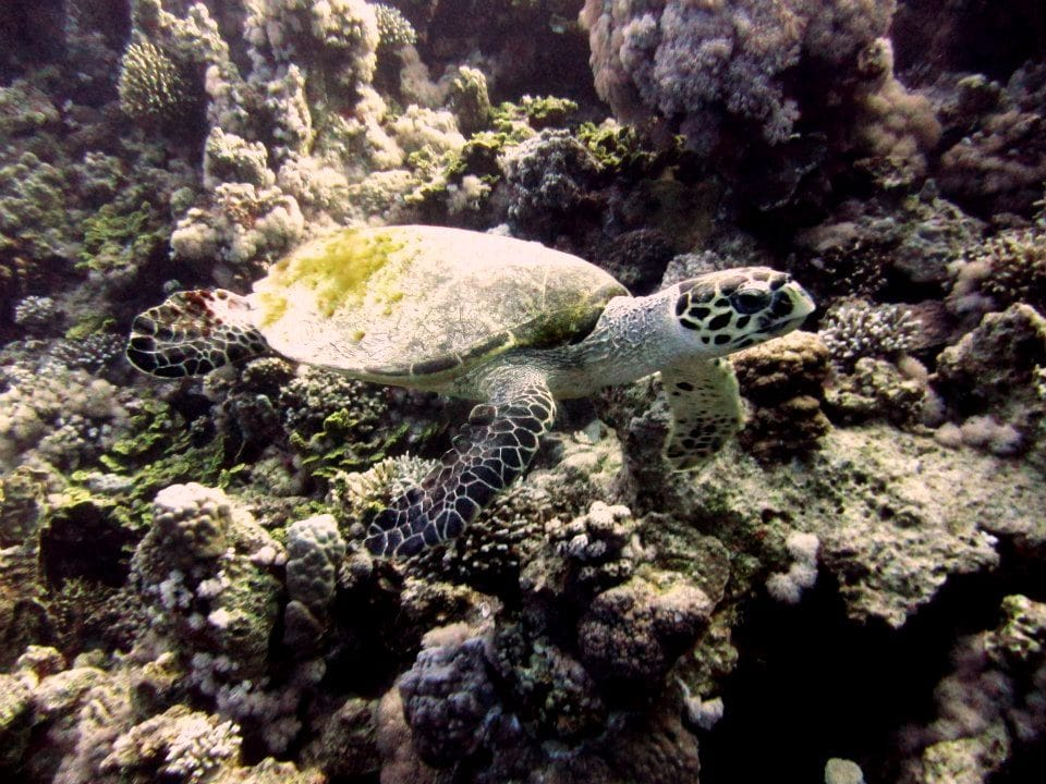 Turtle Diving at R.A.G.