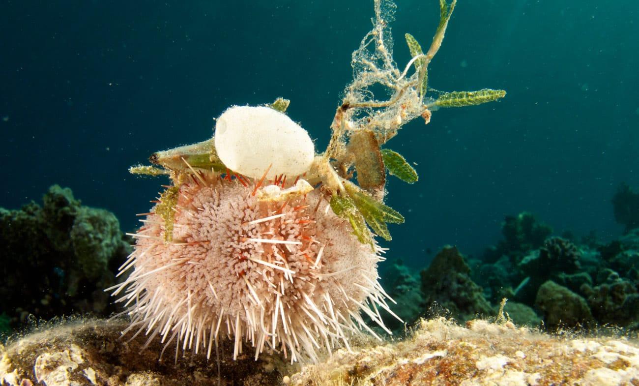 Sea Urchin - by Kjeld Friis