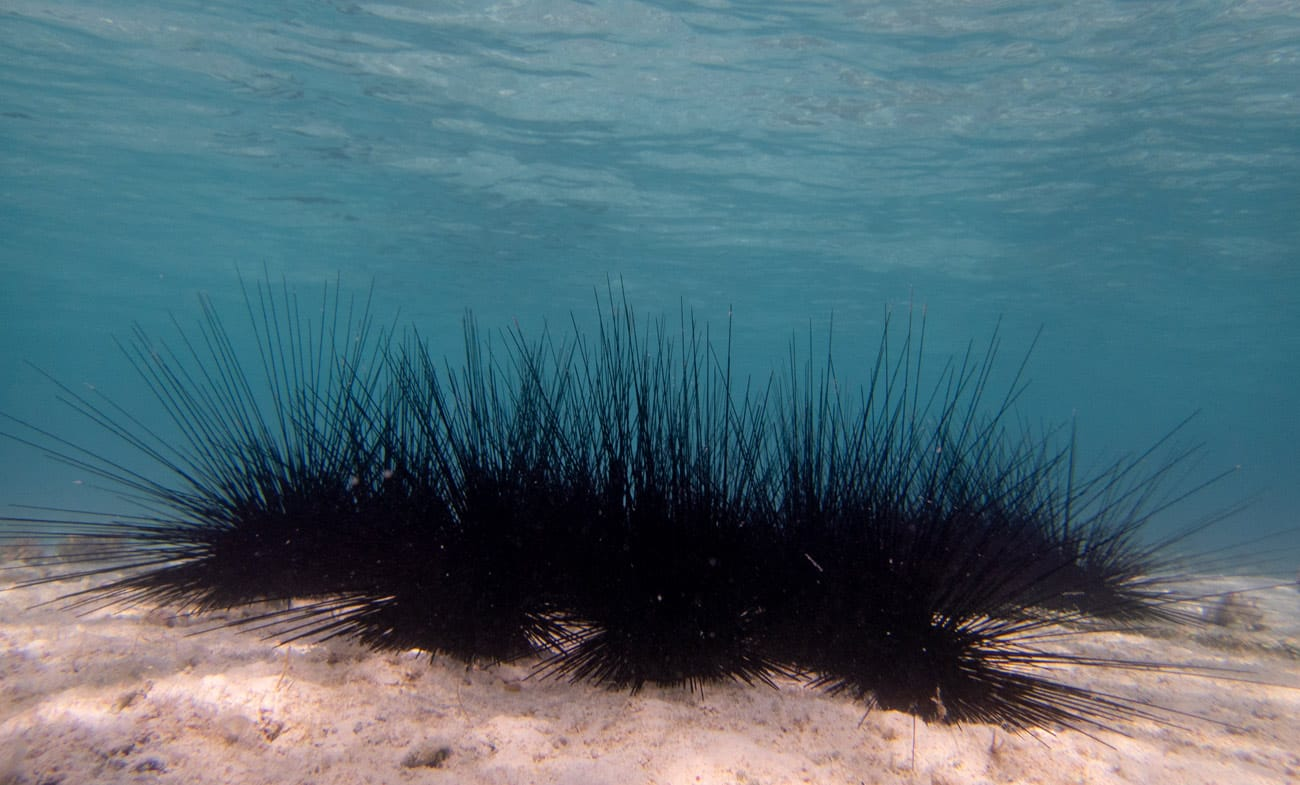 Sea Urchin @ Kjeld Friis
