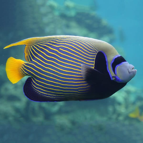 adult angelfish