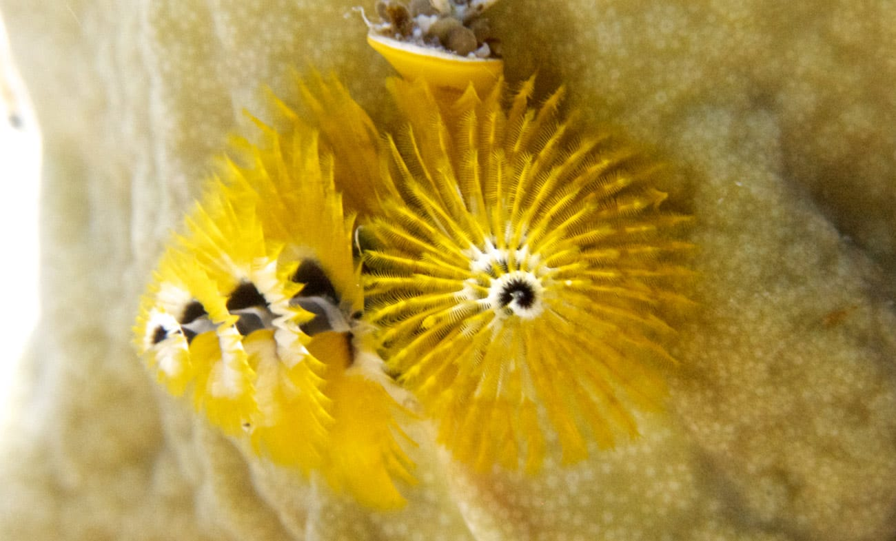Christmas tree worm @ Kjeld Friis