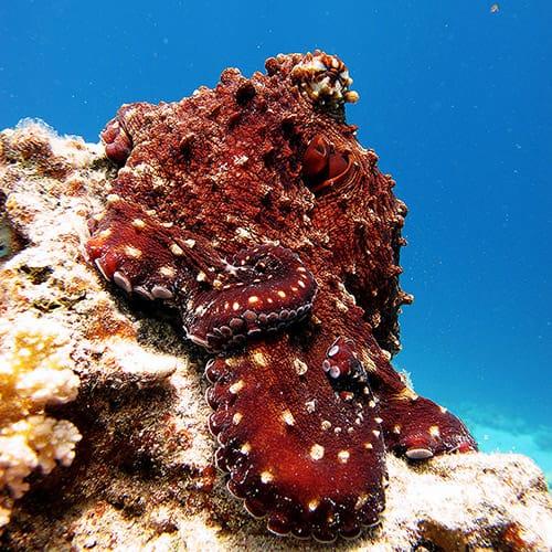 Octopus at Um Sid Dahab