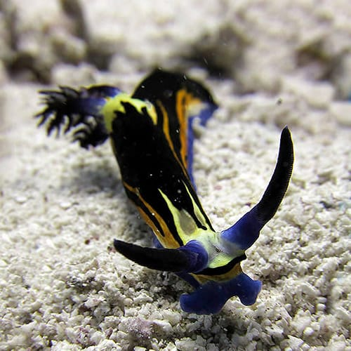 Find all the nudibranchs with H2O Divers Dahab