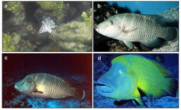 Growth Cycle of Napoleon wrasse