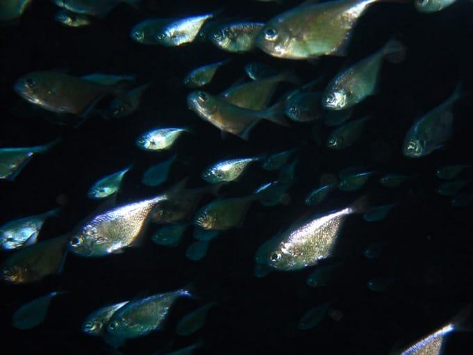 Glass fish inside the Canyon Cracks Dahab