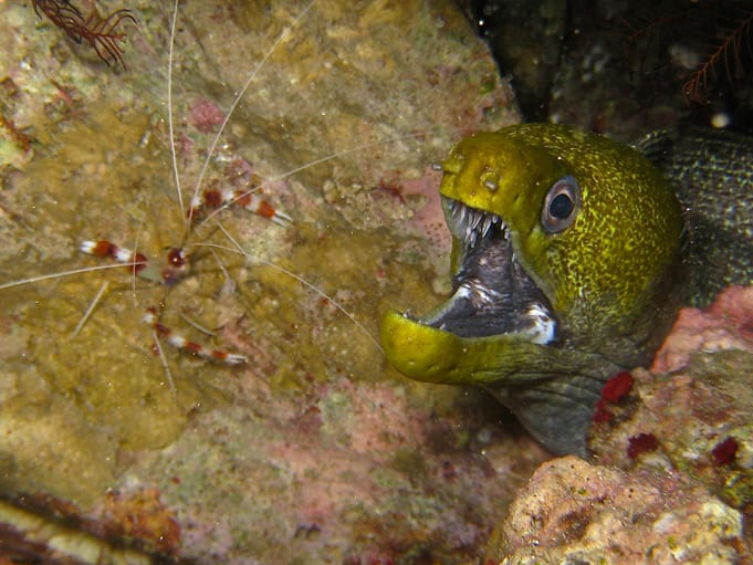 Moray and cleaner fish diving in Dahab