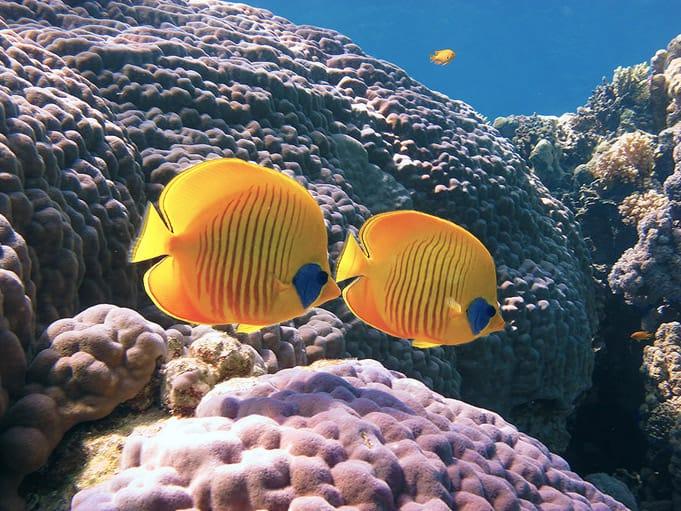 Corals at The Islands, Dahab