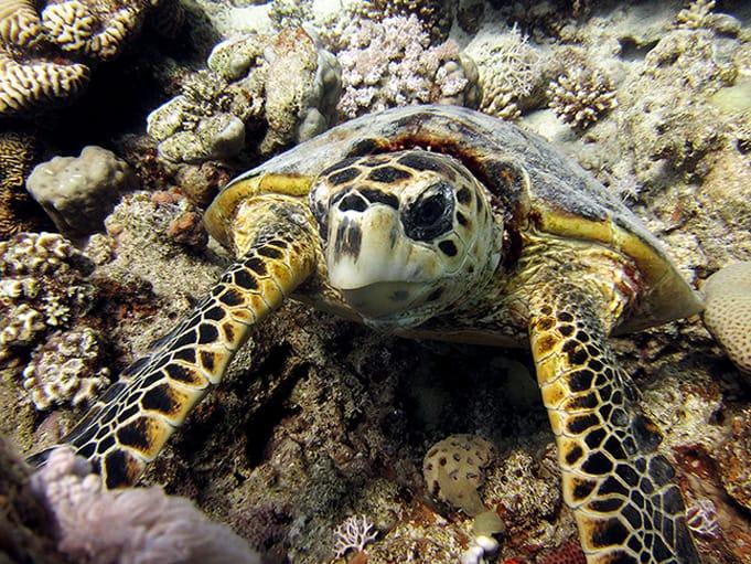 Turtle at RAG Ras Abu Galum