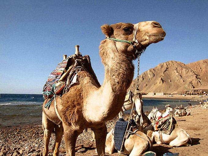 Camel ready for RAG Ras Abu Galum