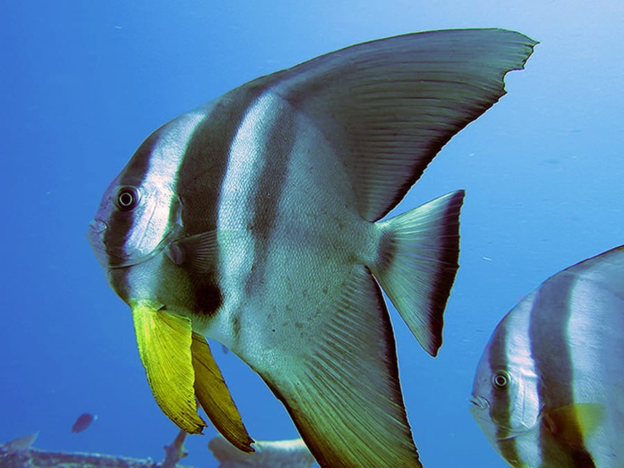 Batfish at Thistlegorm