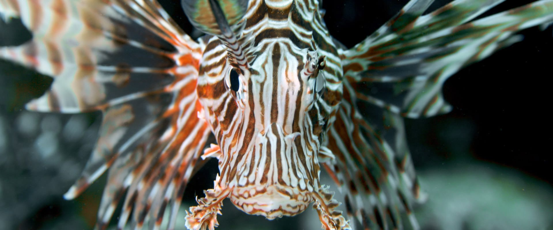 Lionfish in Dahab Red Sea