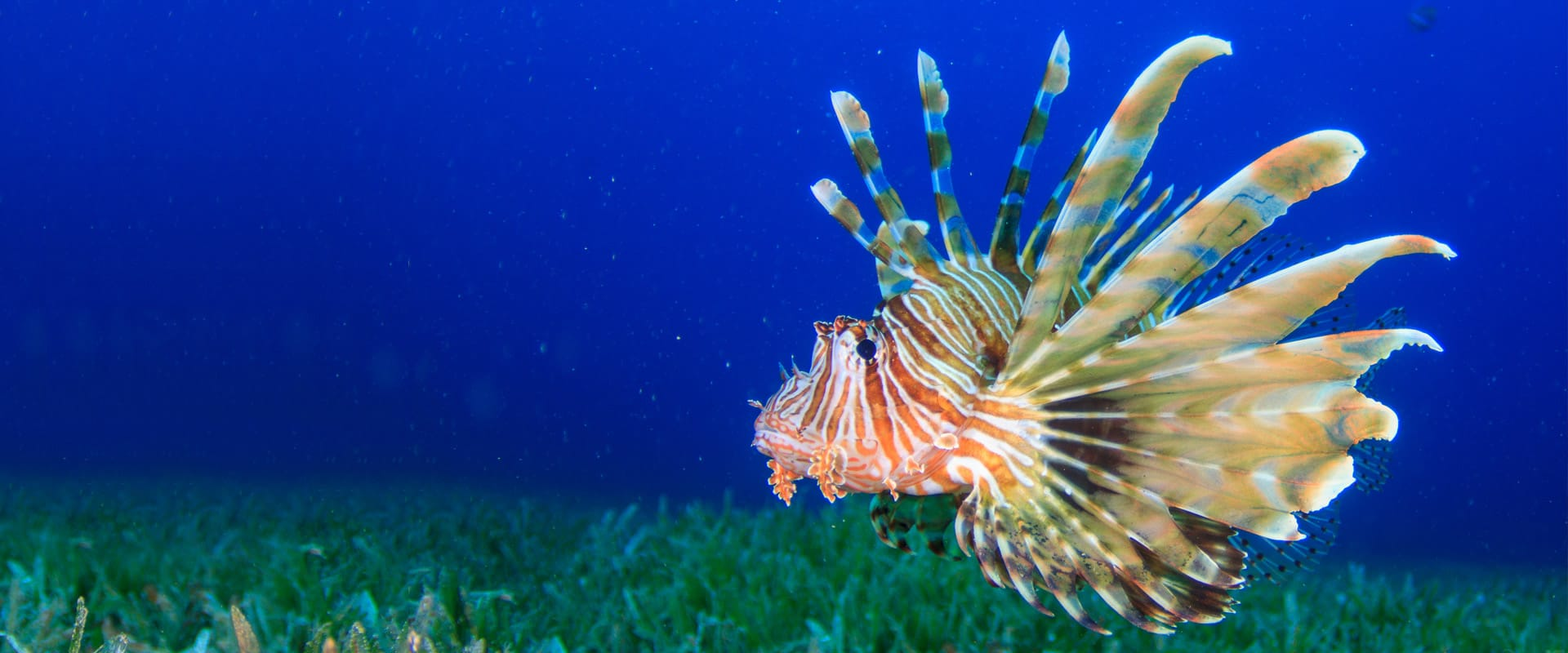 Lionfish with H2O Divers Dahab